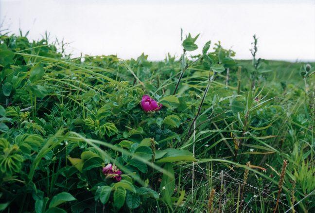 海岸草原にはハマナスなどが咲いていた
