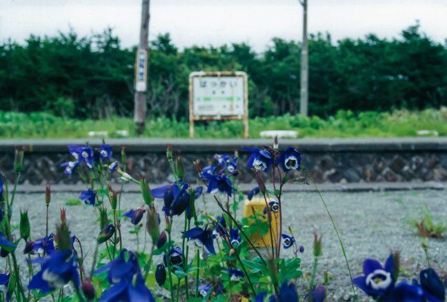 駅舎脇に咲くオダマキの花